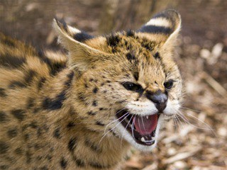 A serval like the one seen here was allegedly released by shot and killed in Ohio after attacking a dog.  (NINJAPOTATO / FLICKR CREATIVE COMMONS)
