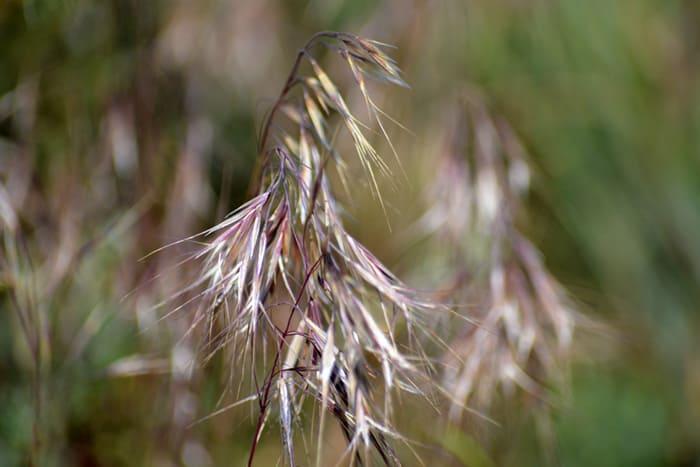Invasive Cheatgrass Taking Over Western Desert