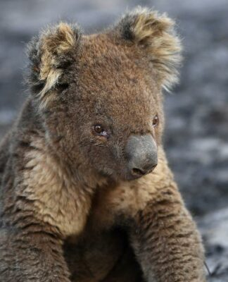 Wildlife experts fear koalas could become extinct in NSW by 2050 unless urgent action is taken.